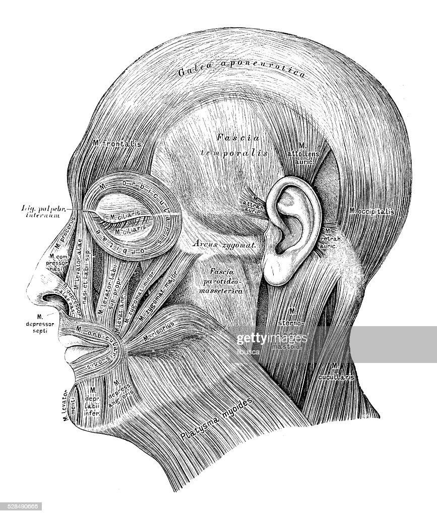 Human Anatomy Scientific Illustrations Head Muscles Stock ...