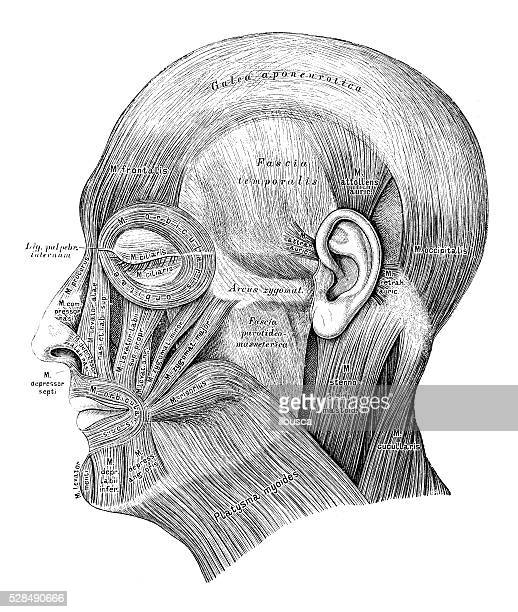 human anatomy scientific illustrations: head muscles - human mouth stock illustrations, clip art, cartoons, & icons