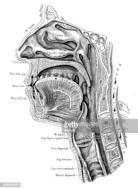 human anatomy scientific illustrations: head section - human mouth stock illustrations