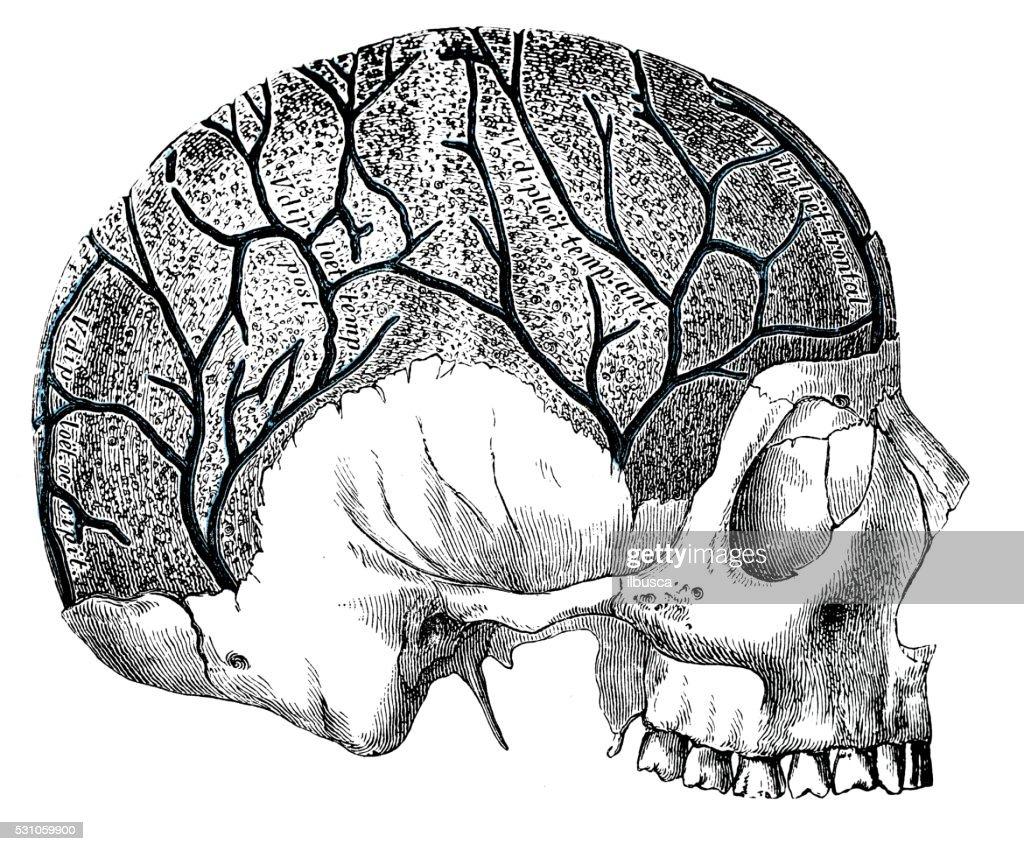 Human Anatomy Scientific Illustrations Head Veins Stock Illustration