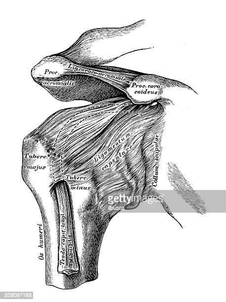 ilustrações, clipart, desenhos animados e ícones de ilustrações científicas da anatomia humana : úmero comum - ombro