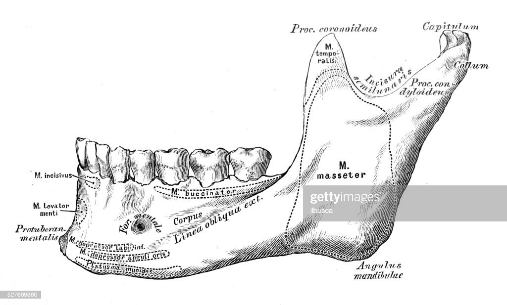 Human Jaw Bone Stock Illustrations And Cartoons