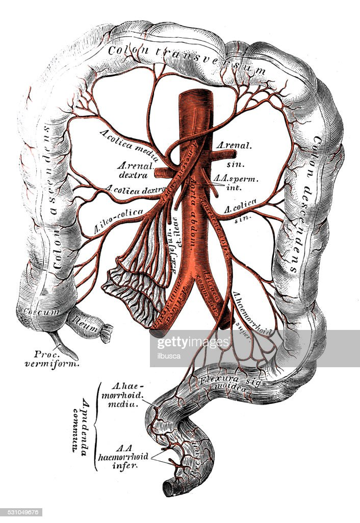 Human Anatomy Scientific Illustrations Inferior Mesenteric Artery