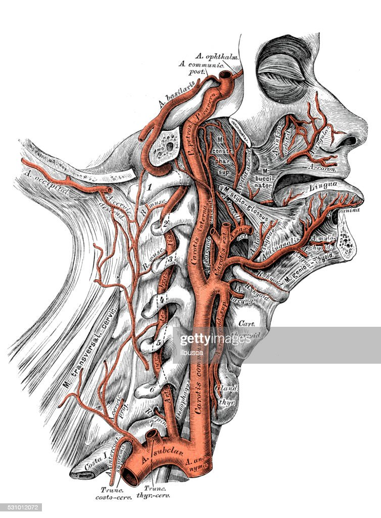 Human Anatomy Scientific Illustrations Internal Carotid Artery And ...