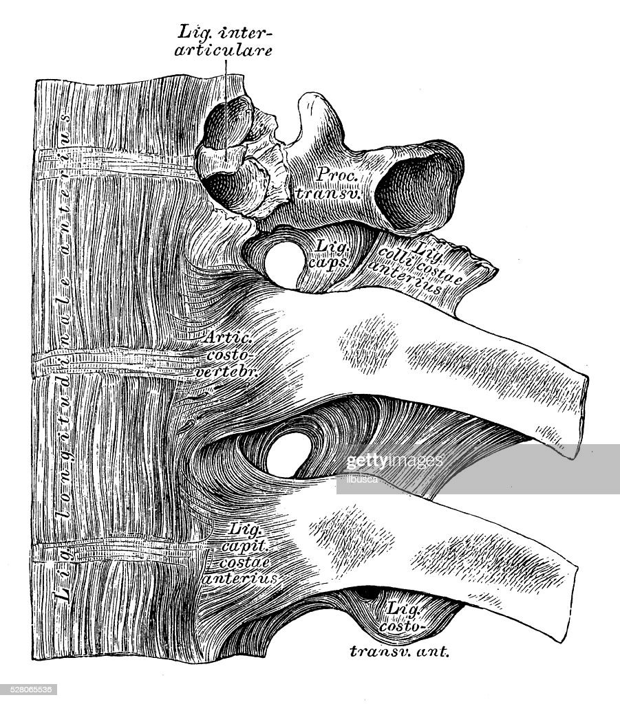 Human Anatomy Scientific Illustrations Joints Between Ribs And