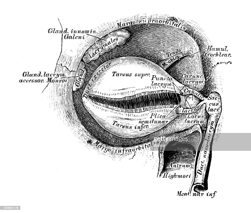 Human Anatomy Scientific Illustrations Lacrimal Apparatus Stock ...