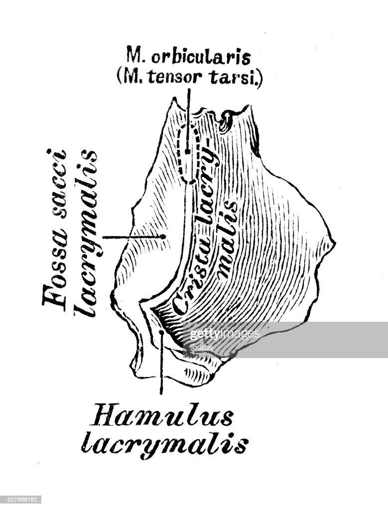 Contemporary Lacrimal Apparatus Anatomy Image - Anatomy and ...