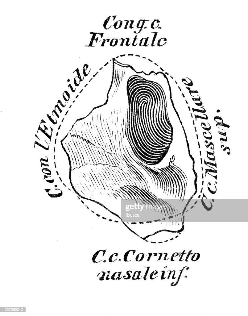 Human Anatomy Scientific Illustrations Lacrimal Bone Stock ...