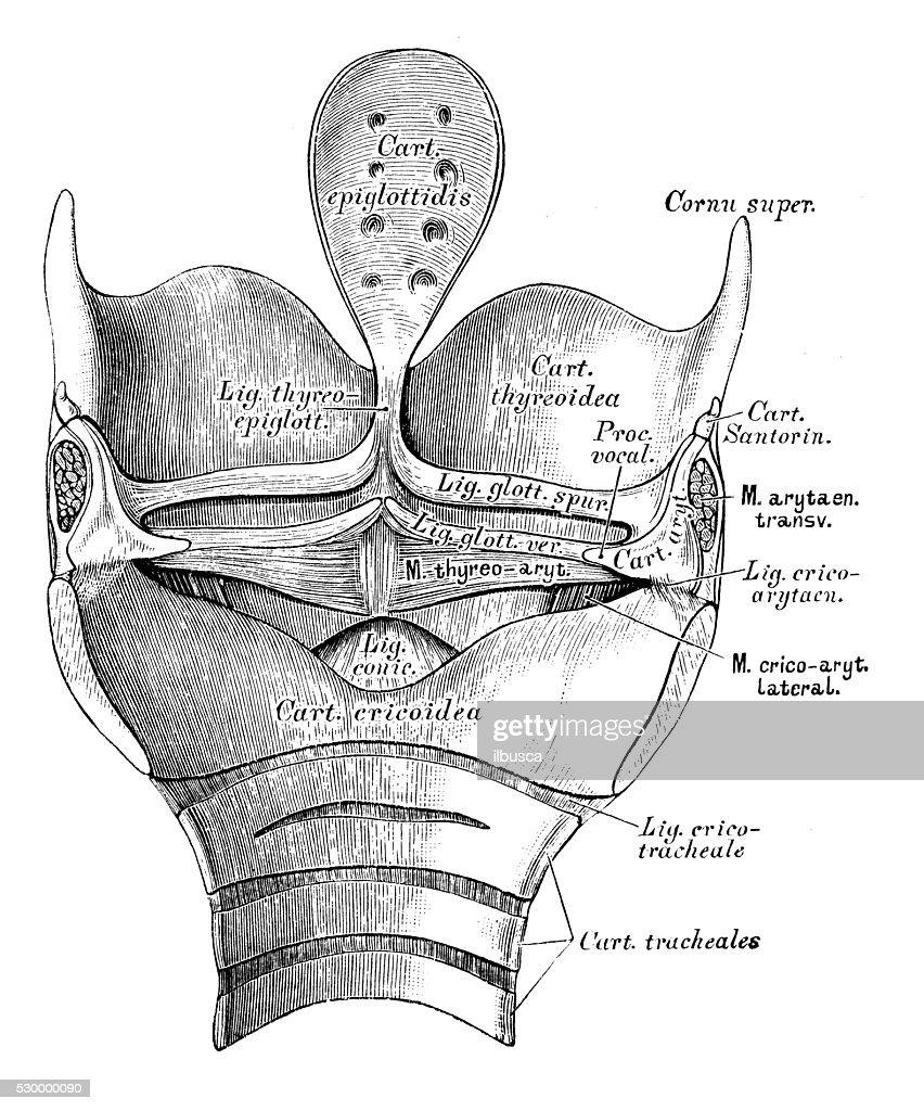 Human Anatomy Scientific Illustrations Larynx Stock Illustration ...