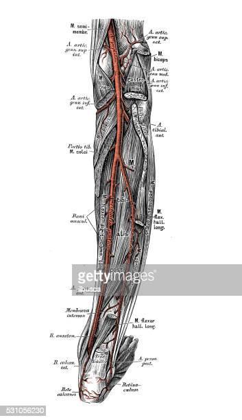 ilustrações, clipart, desenhos animados e ícones de ilustrações científicas da anatomia humana: vias de perna - perna humana