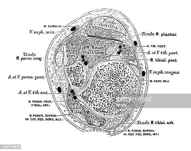ilustrações, clipart, desenhos animados e ícones de ilustrações científicas da anatomia humana: músculos da perna - perna humana