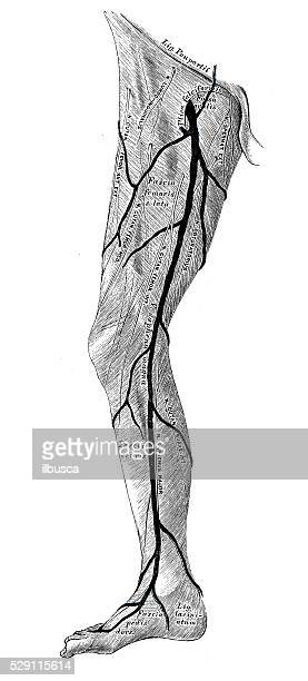 Human anatomy scientific illustrations: leg muscle