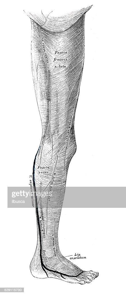 Human Anatomy Scientific Illustrations Leg Muscle Stock Illustration ...
