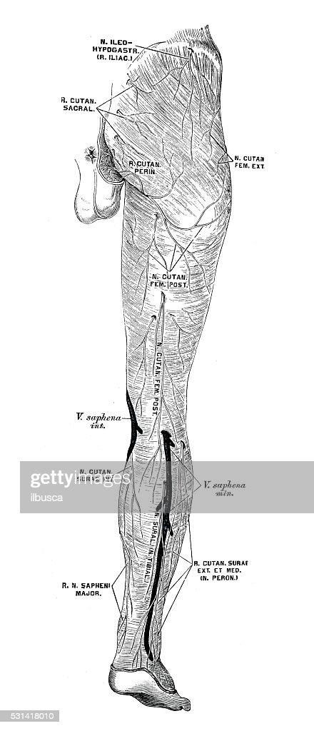 Human Anatomy Scientific Illustrations Leg Nerves Stock Illustration