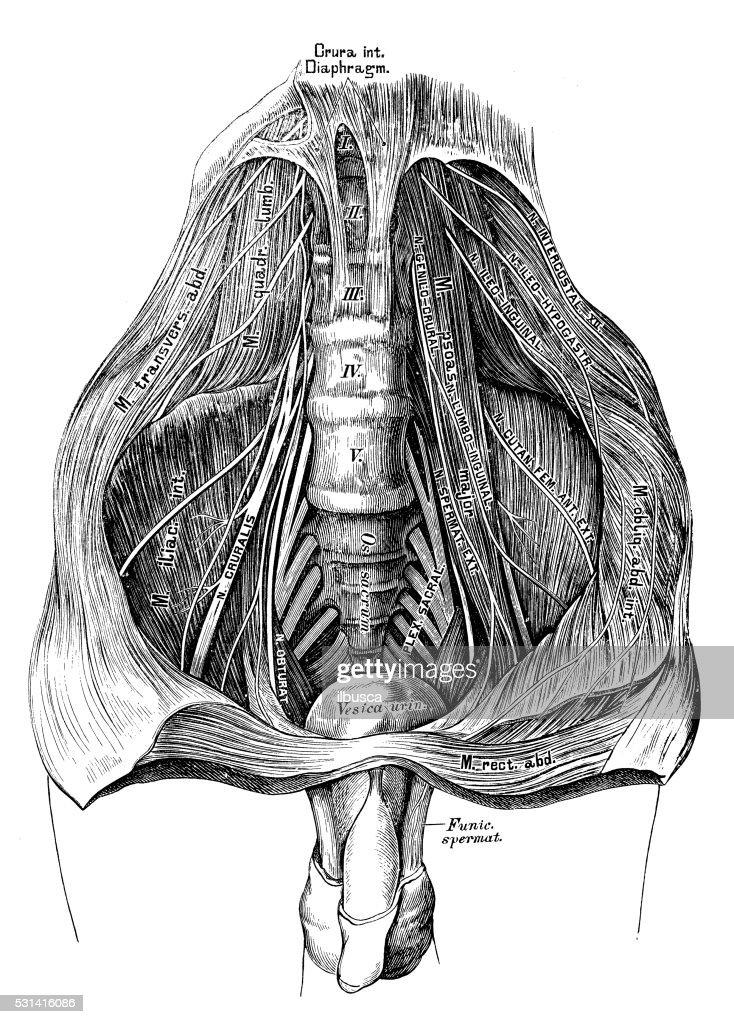 Human Anatomy Scientific Illustrations Lumbar Plexus Stock ...