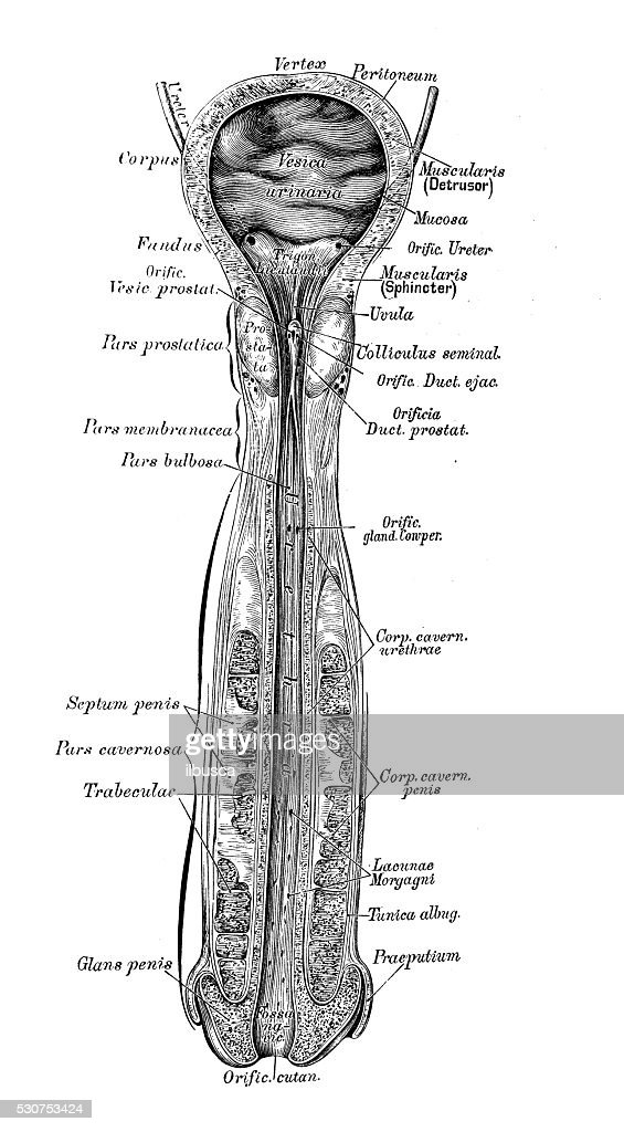 Human Anatomy Scientific Illustrations Male Bladder And Urethra