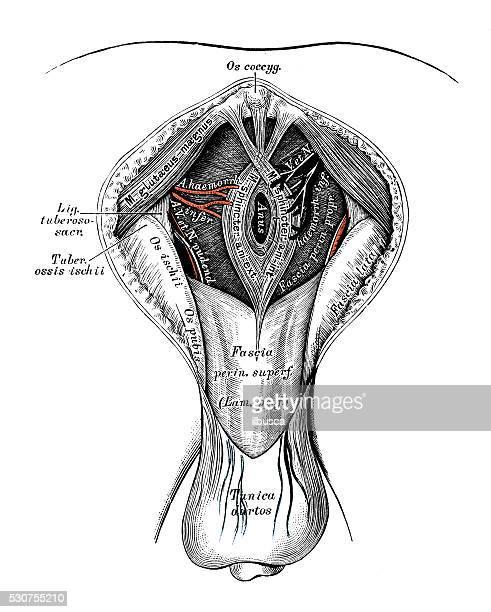 human anatomy scientific illustrations: male perineum - buttocks stock illustrations, clip art, cartoons, & icons