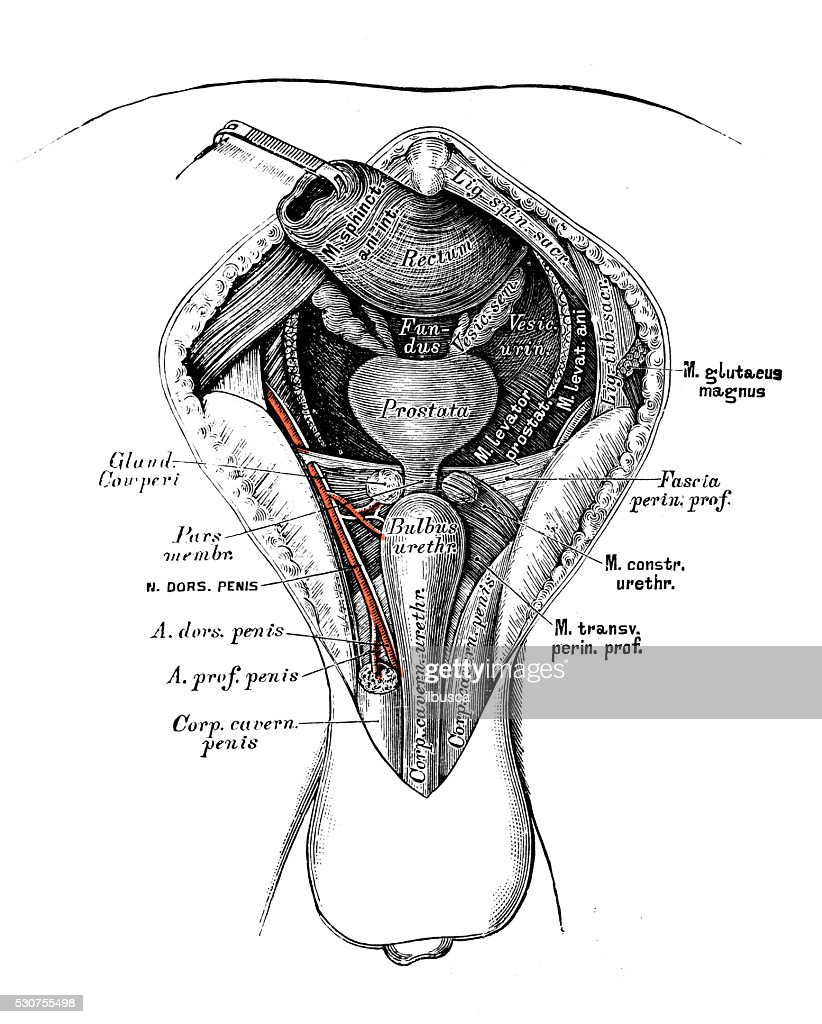 Human Anatomy Scientific Illustrations Male Perineum Stock