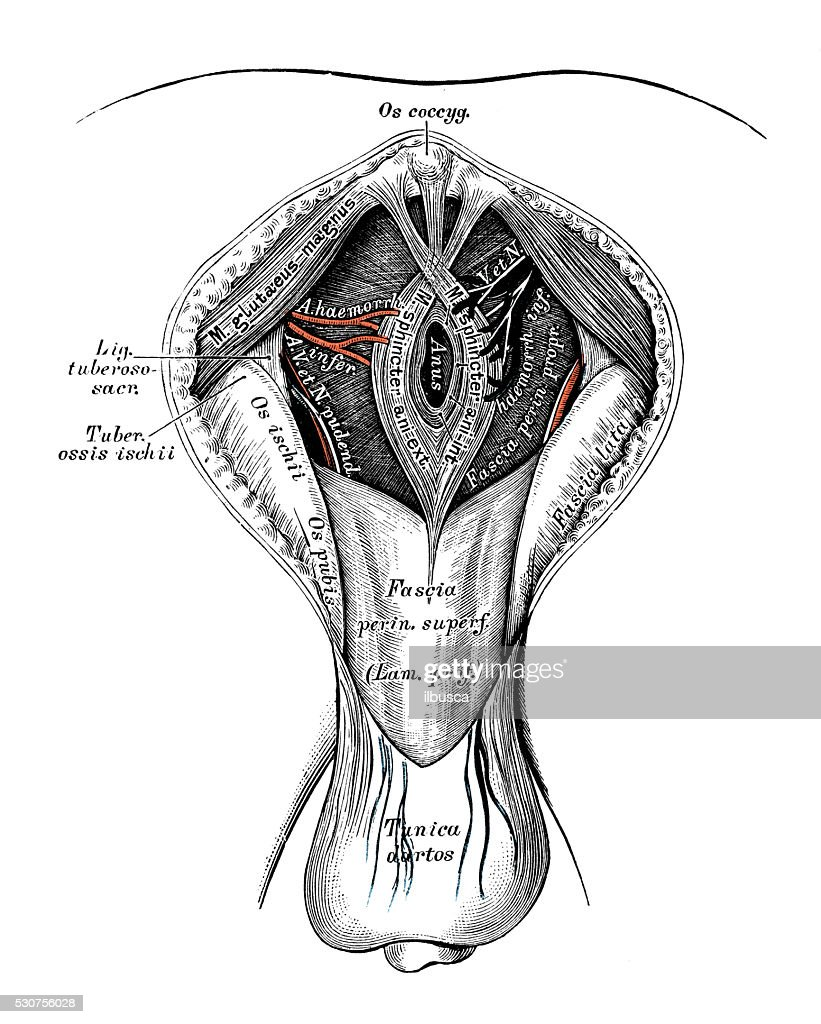 Human anatomy scientific illustrations: male perineum : Stock Illustration