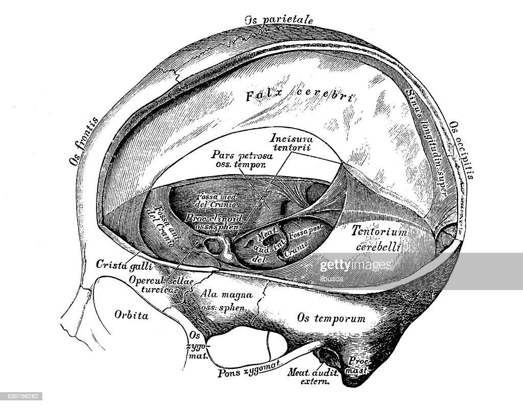 Human Anatomy Scientific Illustrations Meninges Stock Illustration ...