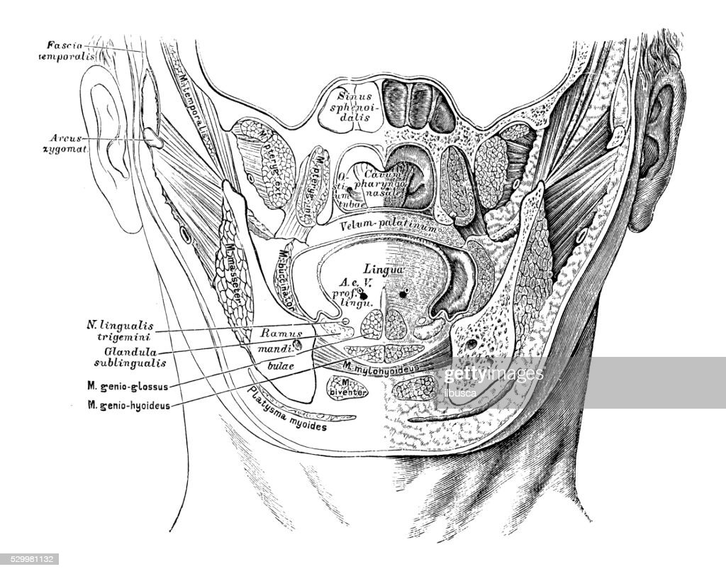 Human Anatomy Scientific Illustrations Mouth Section Stock ...
