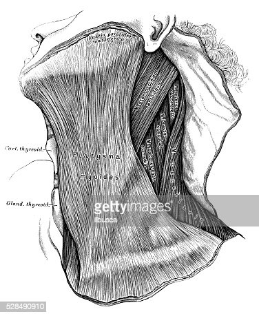 Human Anatomy Scientific Illustrations Neck Muscles Stock