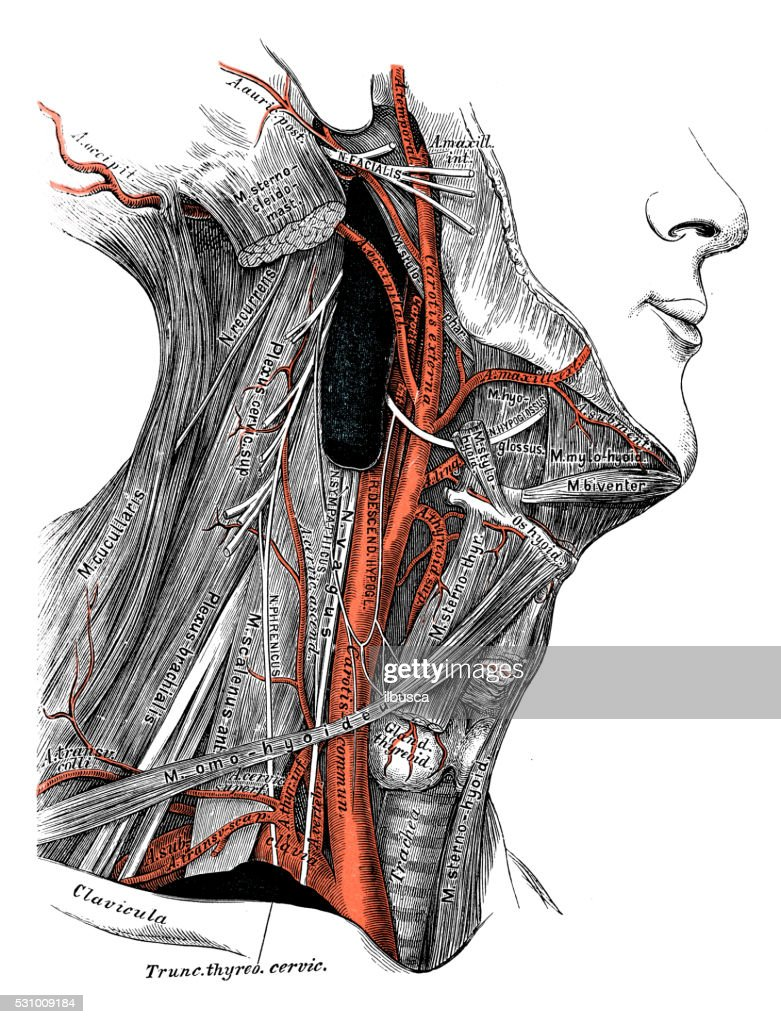 Human Anatomy Scientific Illustrations Neck Veins And Arteries Stock