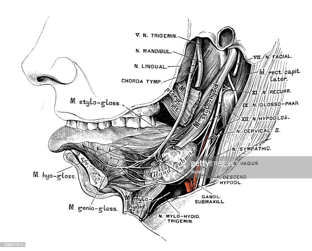 Human Anatomy Scientific Illustrations Nervus Lingualis Stock ...