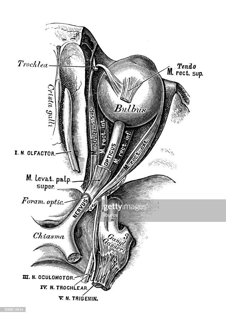 Human anatomy scientific illustrations: Nervus opticus : stock illustration