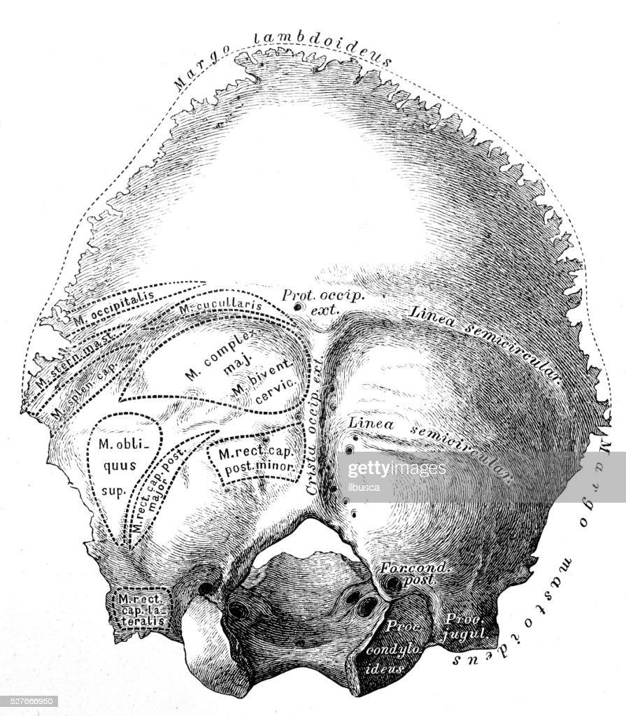 Human Anatomy Scientific Illustrations Occipital Bone Stock ...