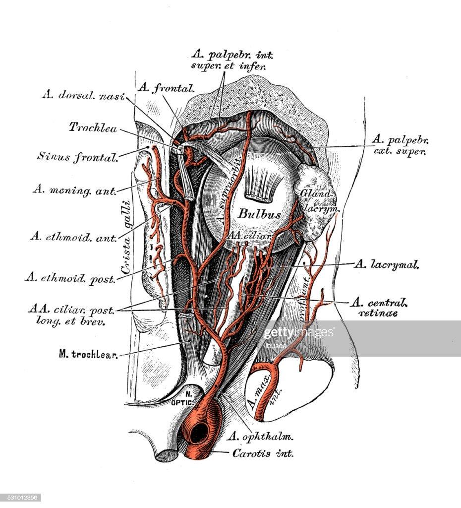 Human Anatomy Scientific Illustrations Ophthalmic Artery Stock ...