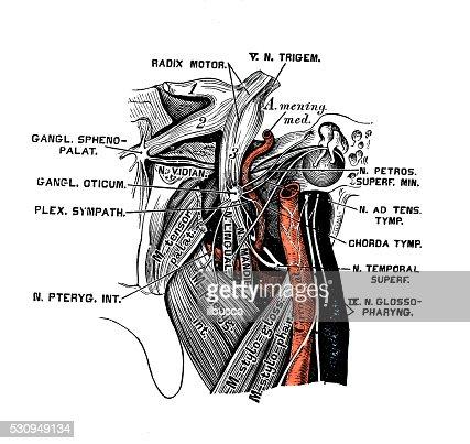 Human Anatomy Scientific Illustrations Otic Ganglion Stock ...