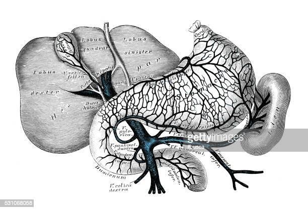 ilustrações, clipart, desenhos animados e ícones de ilustrações científicas da anatomia humana : venoso portal sistema - estômago