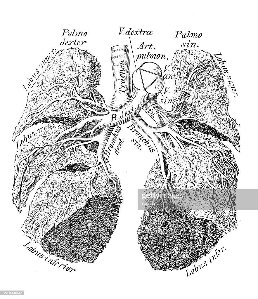 Human Anatomy Scientific Illustrations Pulmonary Artery Of A Boy ...