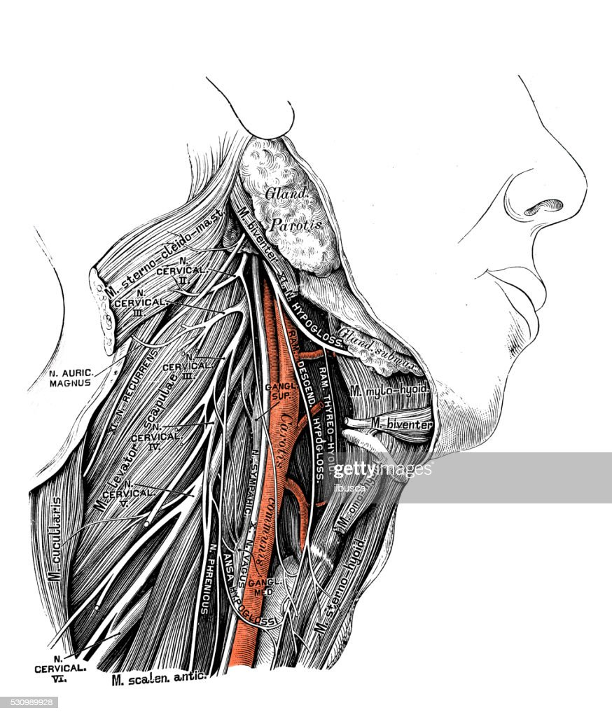 Human Anatomy Scientific Illustrations Recurrent Laryngeal Nerve ...