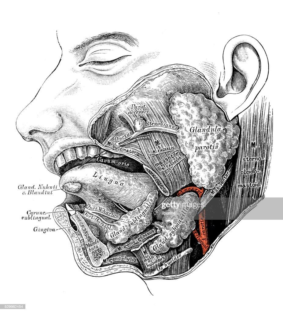 Human Anatomy Scientific Illustrations Salivary Gland Stock ...