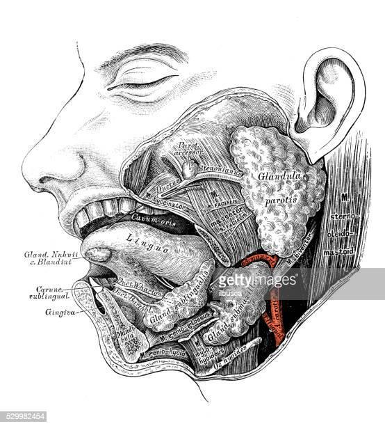 human anatomy scientific illustrations: salivary gland - human gland stock illustrations