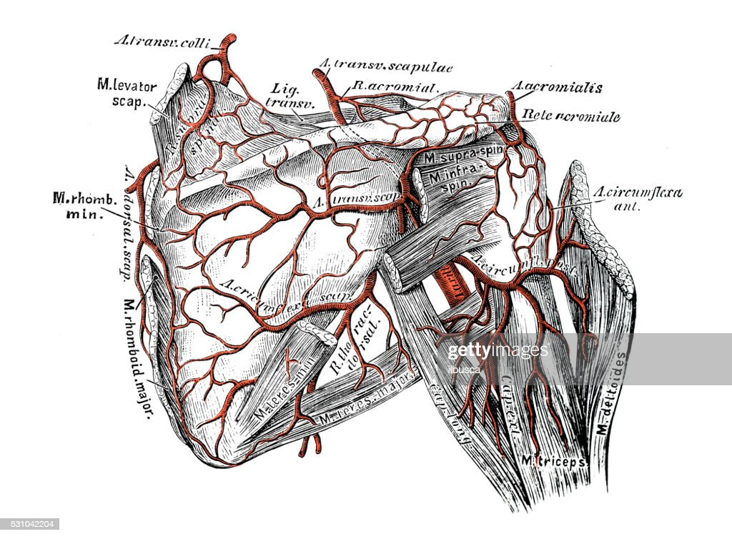 Human Anatomy Scientific Illustrations Scapula Arteries Stock ...