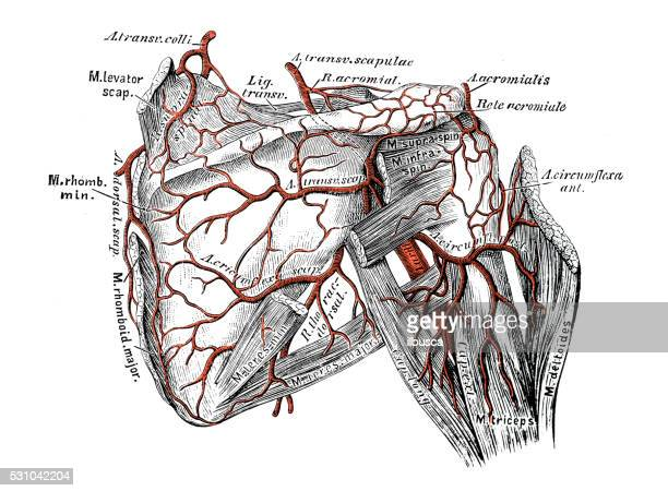 Scapula Stock Illustrations And Cartoons Getty Images