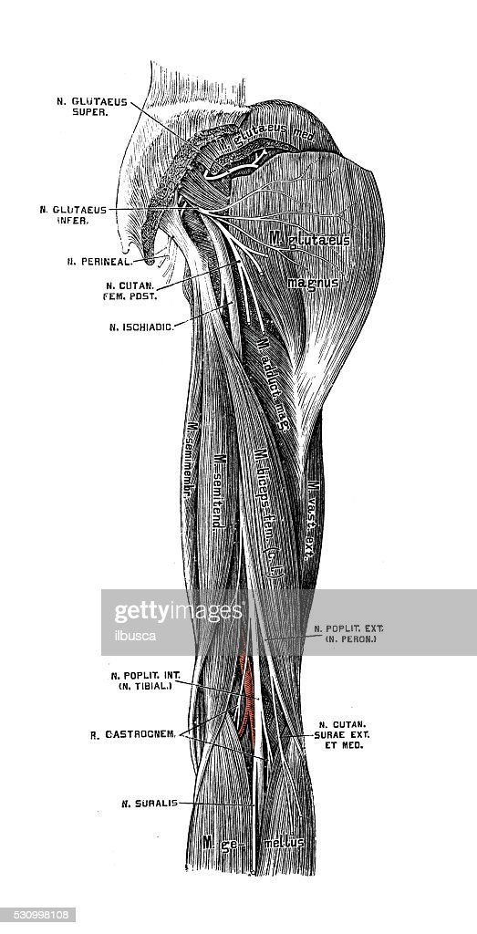 Human Anatomy Scientific Illustrations Sciatic Nerve Stock