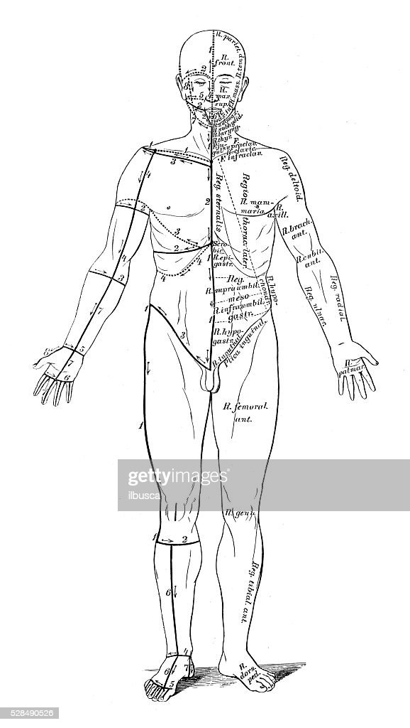 Human Anatomy Scientific Illustrations Skin Cuts For Dissection