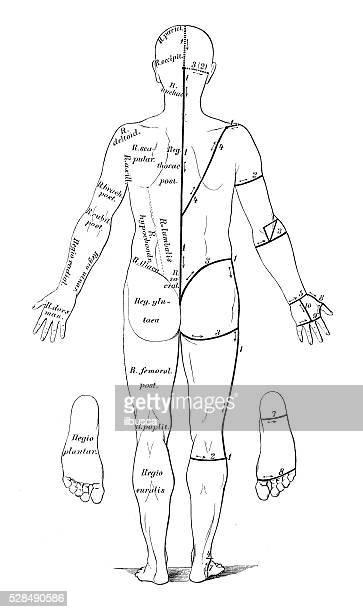 stockillustraties, clipart, cartoons en iconen met human anatomy scientific illustrations: skin cuts for dissection - autopsy