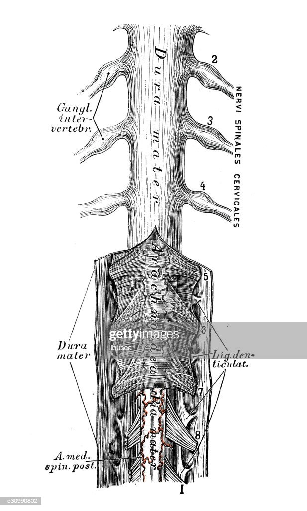 Human Anatomy Scientific Illustrations Spinal Cord Stock