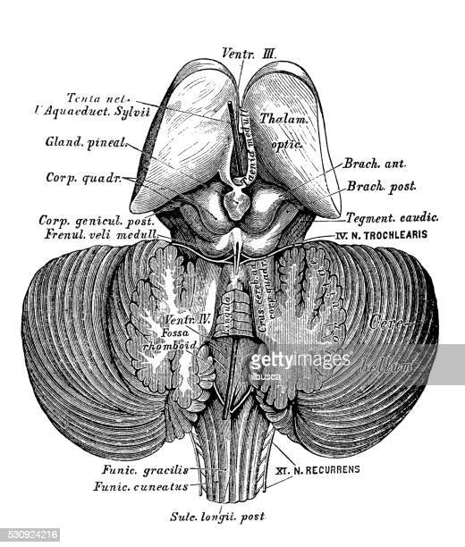 Human anatomy scientific illustrations: third and fourth cerebral ventricle