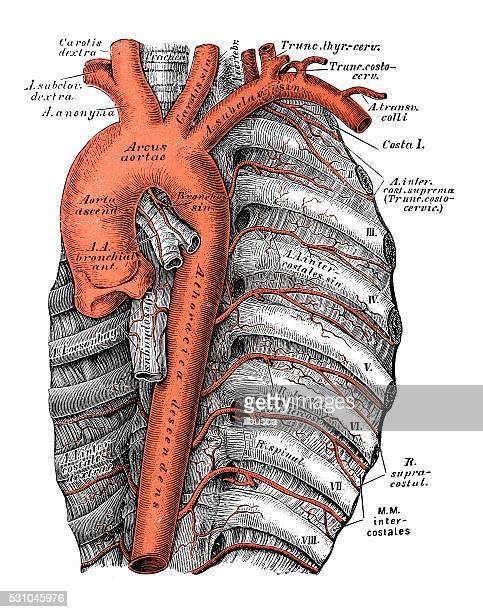 Ilustrações científicas da anatomia humana : aorta torácica