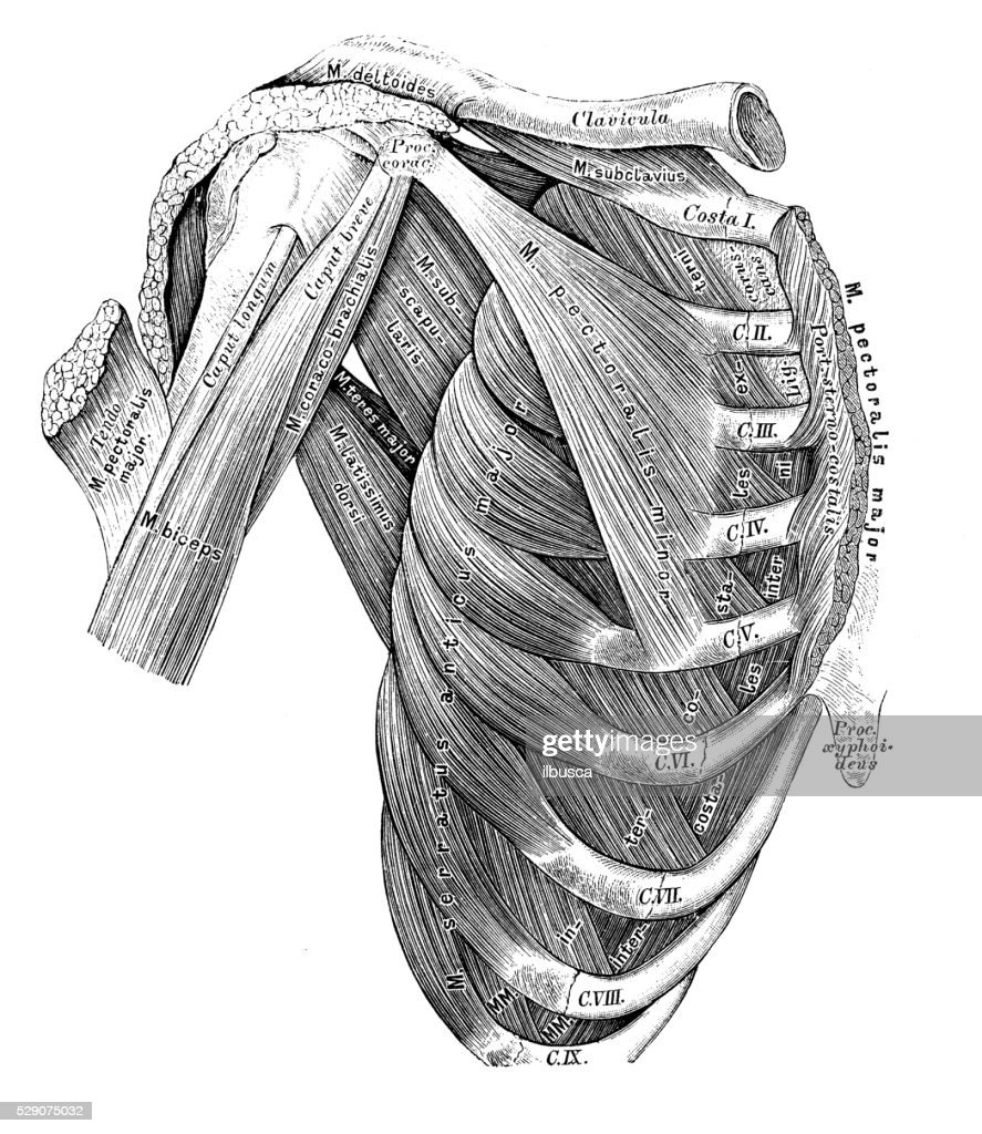 Human Anatomy Scientific Illustrations Thorax Muscles Stock