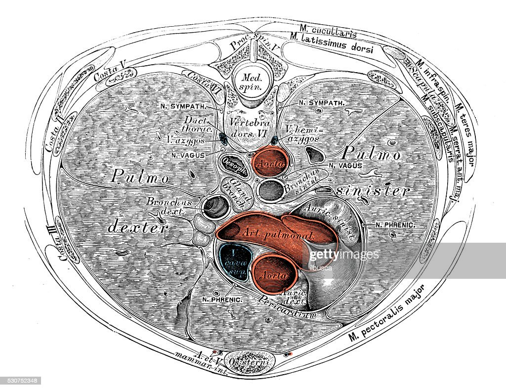 Human Anatomy Scientific Illustrations Thorax Organs Stock ...
