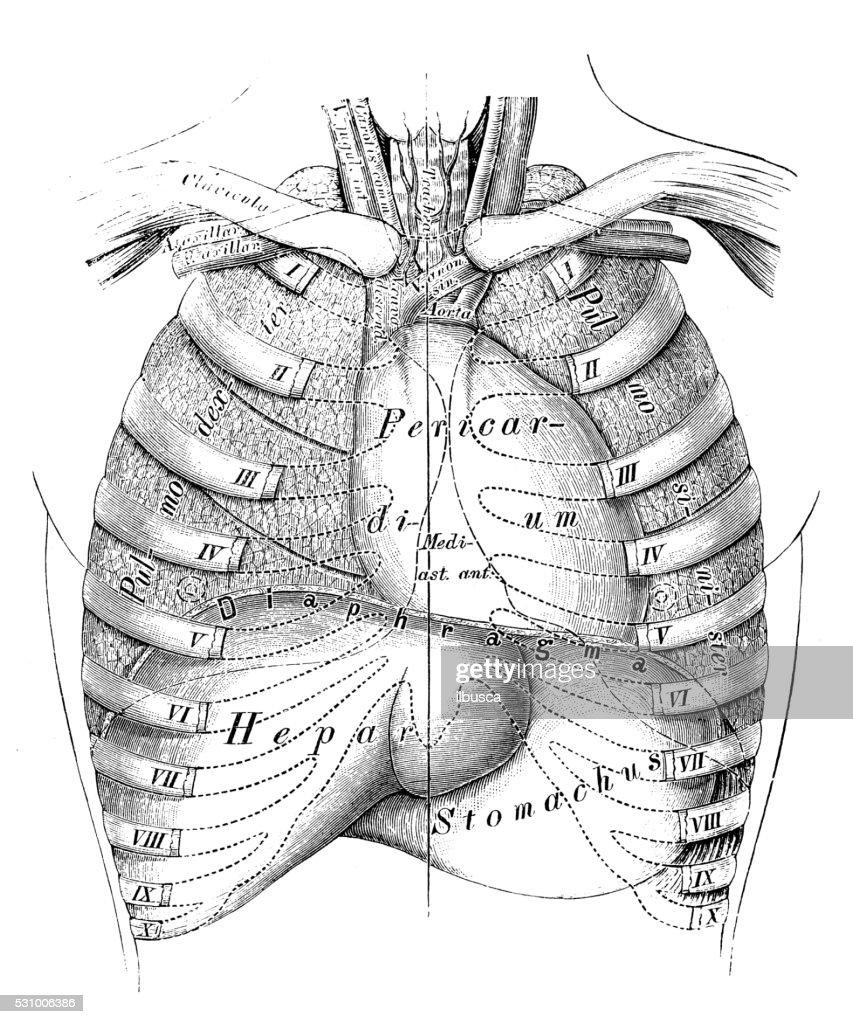 Human Anatomy Scientific Illustrations Thorax Organs Stock