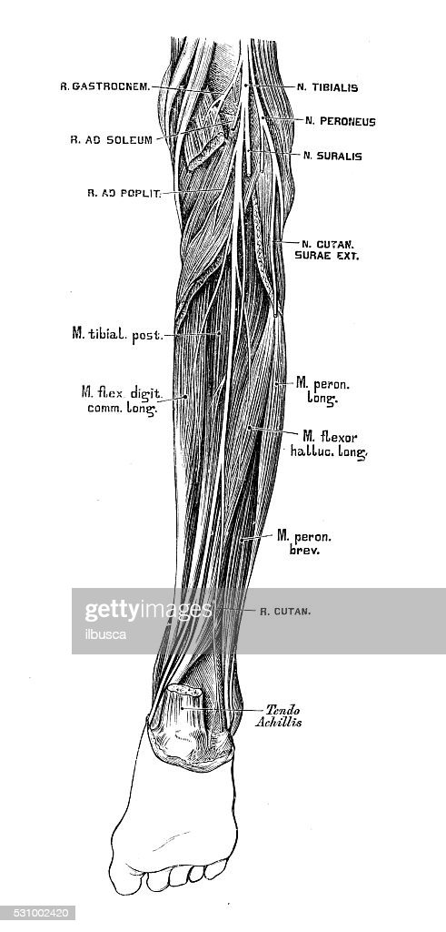 Human Anatomy Scientific Illustrations Tibial Nerve Stock ...