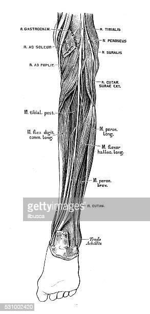 ilustraciones, imágenes clip art, dibujos animados e iconos de stock de ilustraciones científicas de anatomía humana : nervio tibial - hueso de la pierna